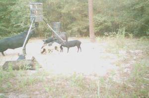 Real Hogzilla? MONSTER feral hog! (photo)