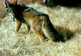 U.S. Geo. scientists produce hybrid wolf/coyote pups