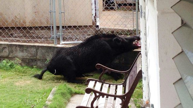 Huge hog stuck in fence, charges people