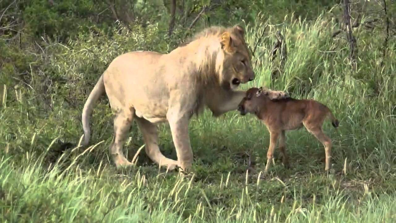 Lion saves calf from another lion (Must see video!)