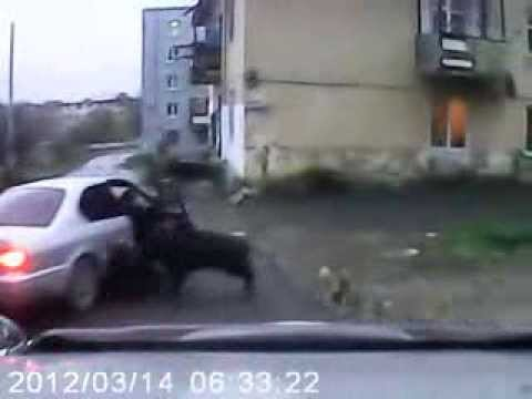 Russian boar attacks people in Russia! (Video)