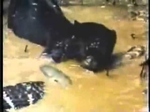 Video: Black jaguar attacks crocodile!