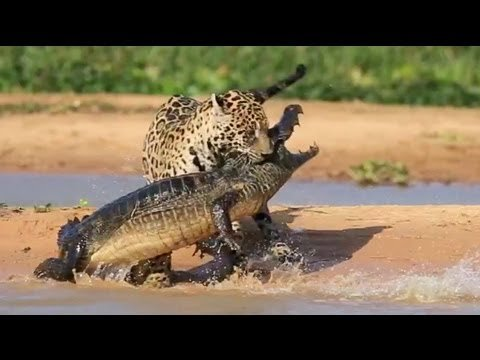 Video: Jaguar Vs. Caiman (closeup)