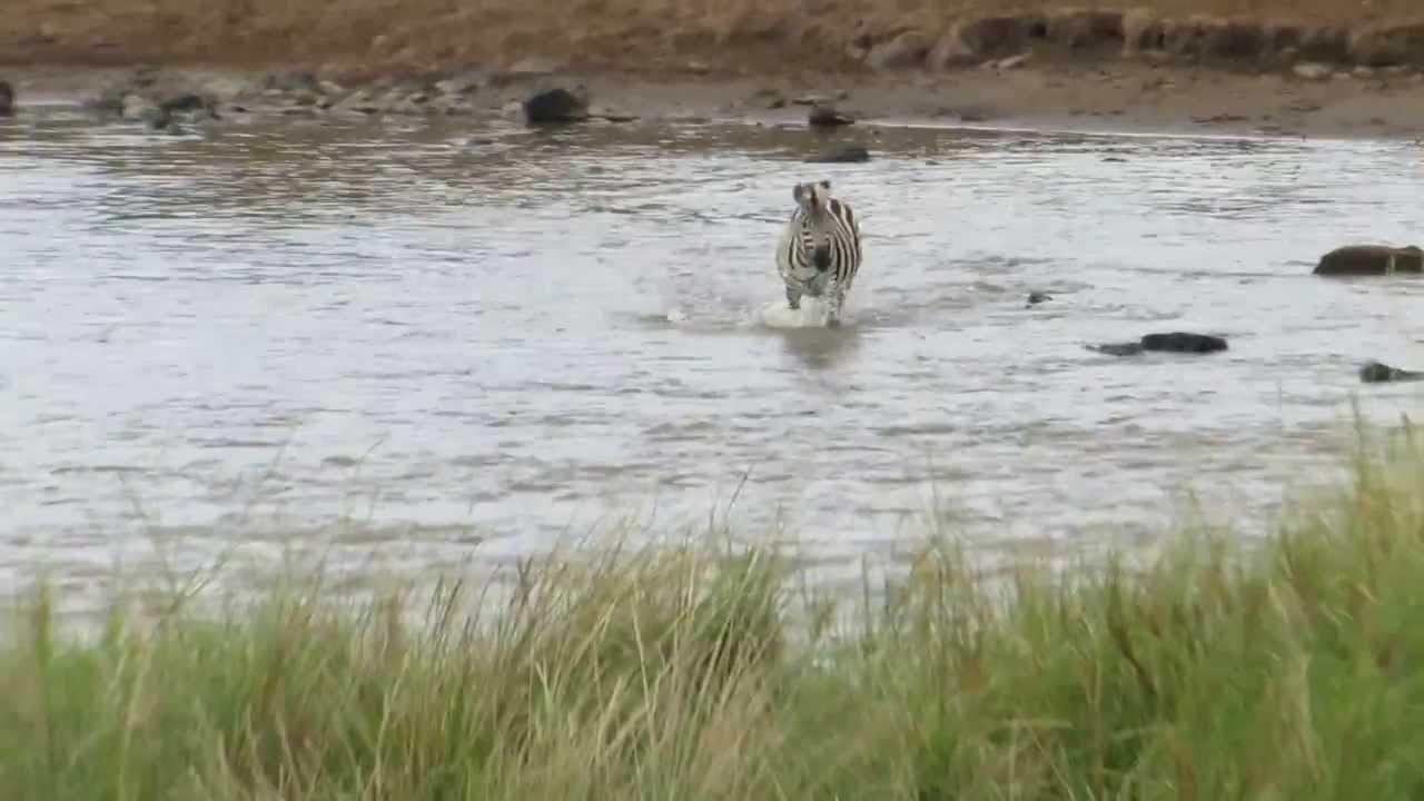 Video: Zebra walks into lion ambush