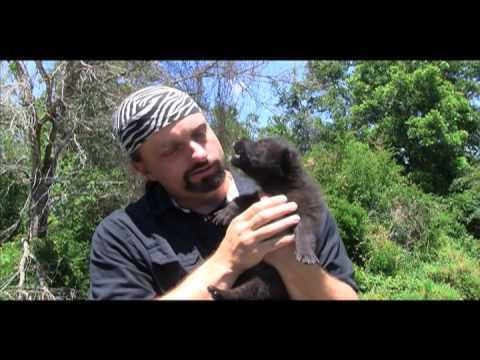 Baby wolf howls (video)