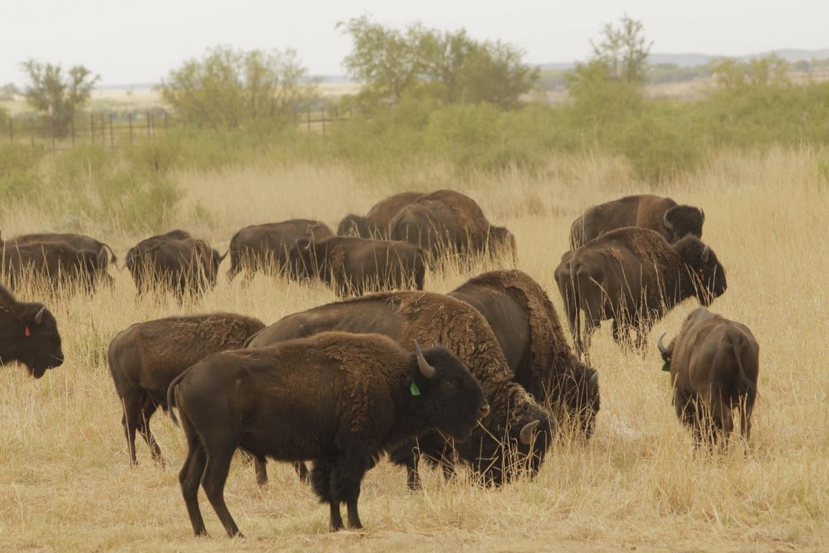 Calf added to TX state bison herd