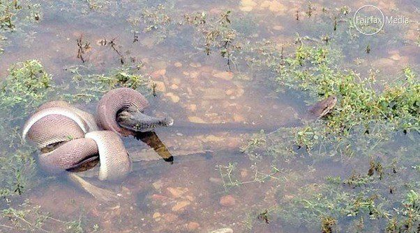 'Unbelievable': Python Caught on Camera Engulfing a…Crocodile!