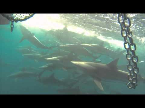 Sharks Pursue Fishing Boat