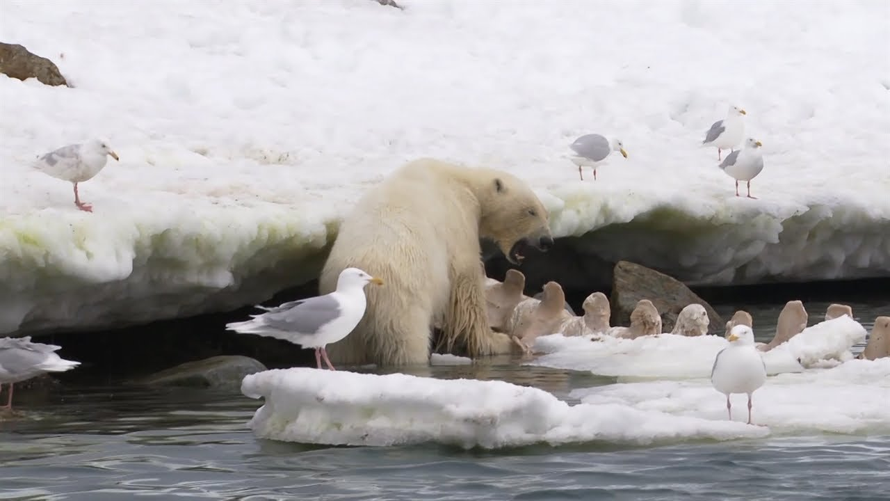 Video: In the mouth of a polar bear