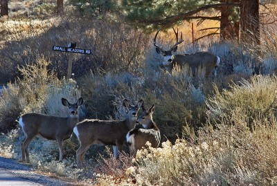 Mule Deer Herd Holds Furthest Migration Distance Record in the Lower 48