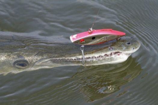Once a nuisance, alligator gar increasingly protected