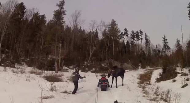 Snowmobiling Couple Charged by Moose – Not Even a Warning Shot Scared It Away