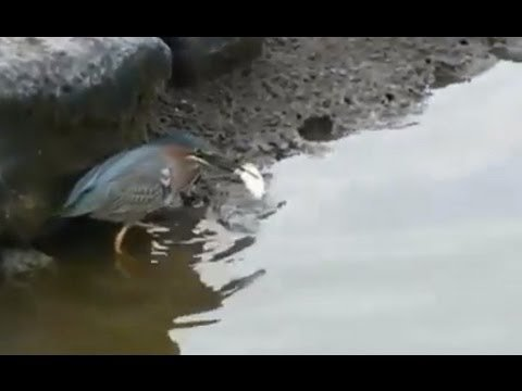 Bird Baits Fish with Bread