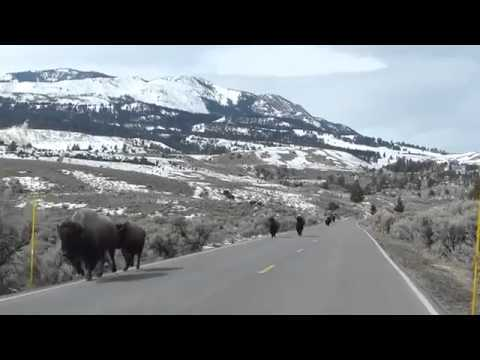 "Is this the real story on the bison ""leaving"" Yellowstone?"