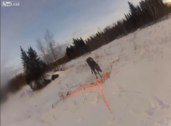 Video: Releasing a Tagged Moose Goes Wrong