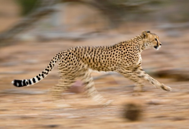 Step Aside, Cheetah: There's an Unexpected Animal That's Taken the Top Spot for Fastest on Land