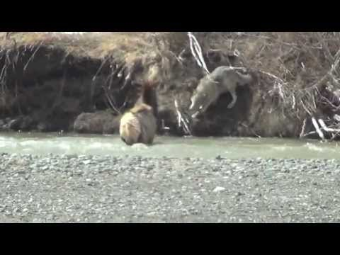 Video: Lone Wolf Pursues Elk into River