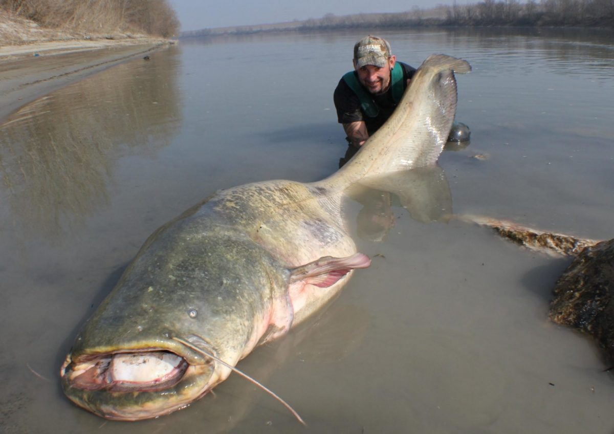 Video: Massive Catfish