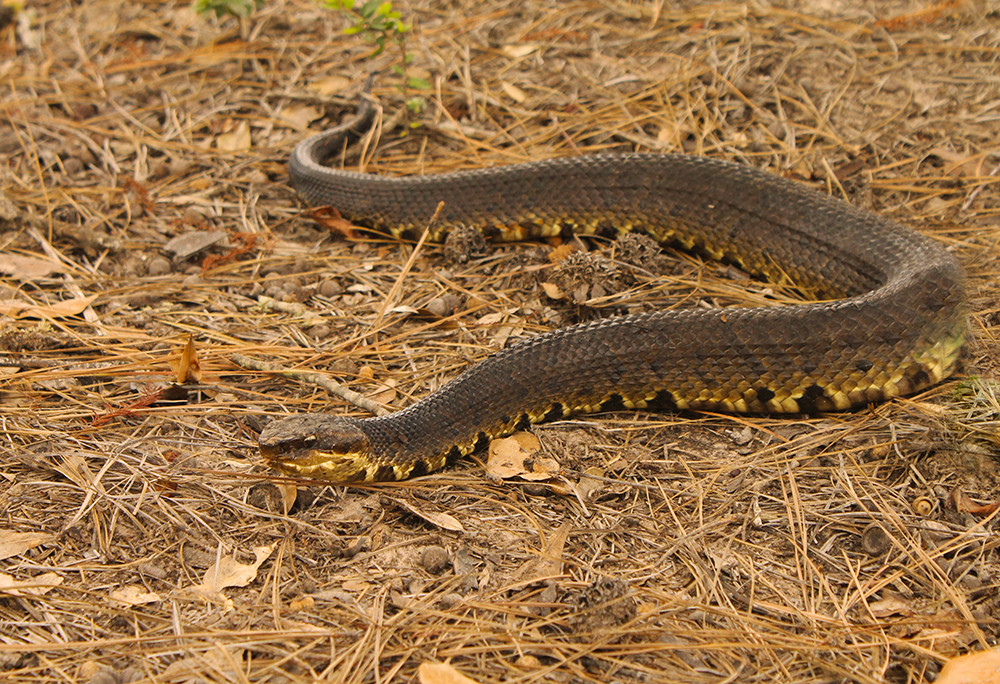 cottonmouth7
