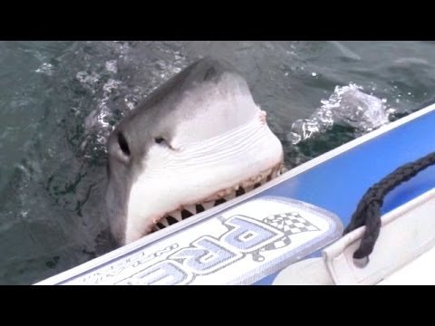 Film Crew Learns the Hard Way Why Not to Take an Inflatable Boat Out to Film Great White Sharks