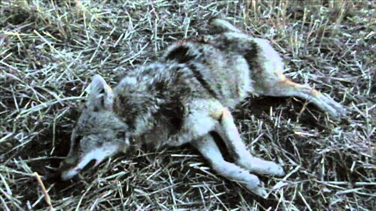 Video: Hunters Bag Coyote with 1,860-yard Shot