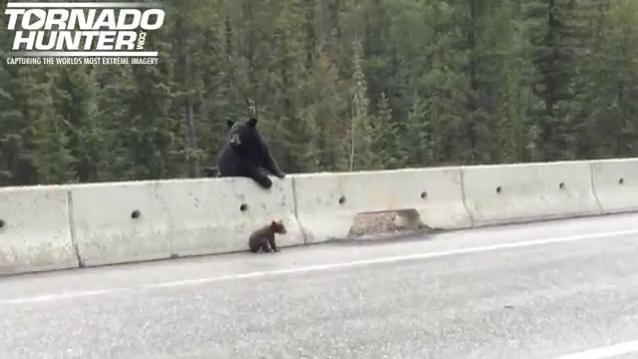 Video: Storm Chaser Catches What a Momma Bear Did When Her Cub Became Stranded on the Side of a Road