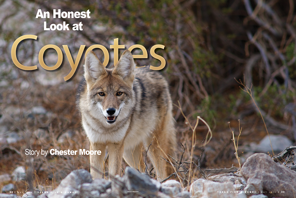 An Honest Look at Coyotes