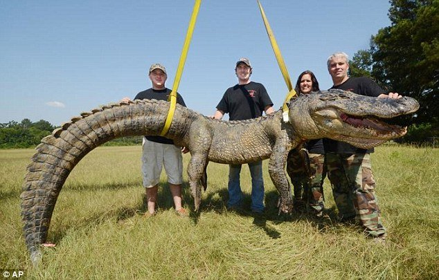 Another gator record broken in Mississippi - this time at 741-pounds it's the states heaviest and longest
