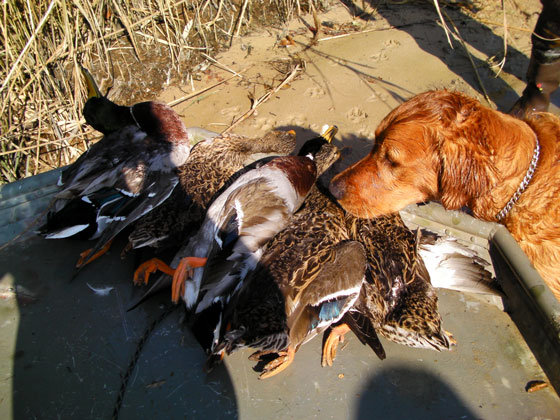 3 Tips for Hunting with Dogs on Boats