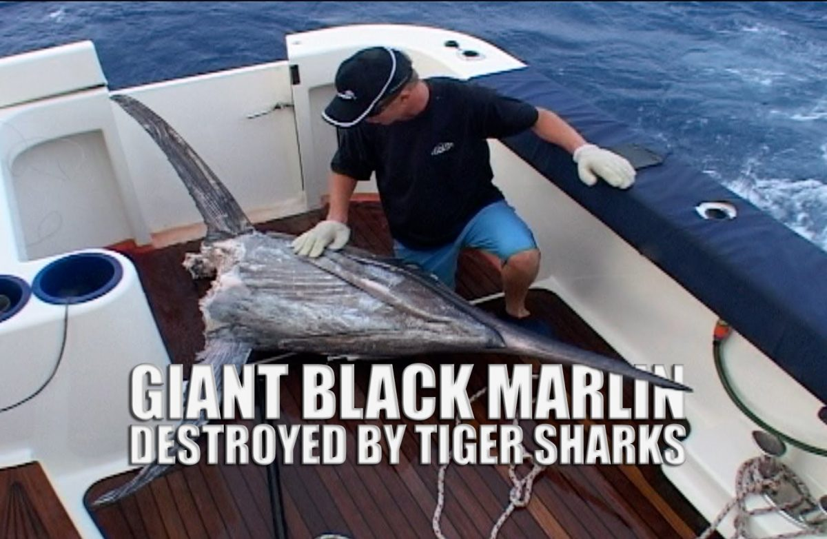 Giant Black Marlin Destroyed by Tiger Sharks (Video)