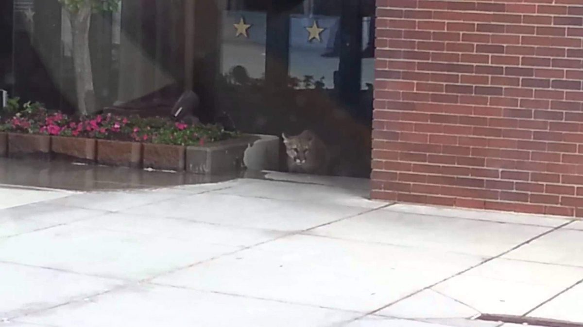 This Cougar Wandered Into a Shopping Center. That Proved to Be a Fatal Mistake.