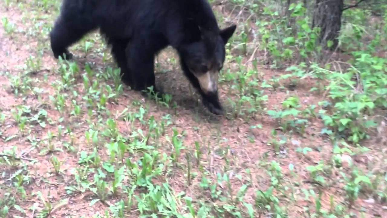 Video: Joggers Caught in Tense Confrontation with Alberta Black Bear
