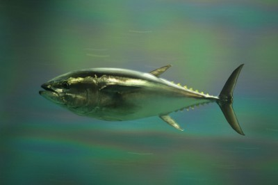 NOAA Considers Ban on Bluefin Tuna Fishing