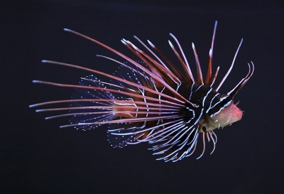 Florida Teenager Discovers Lionfish Can Survive in Freshwater