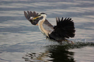 Heron spears crappie (photo)