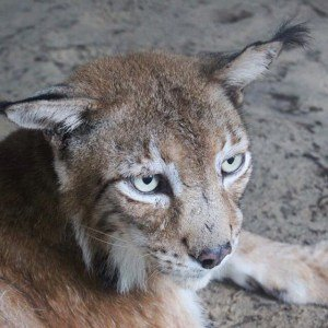 The Incredible Siberian Lynx