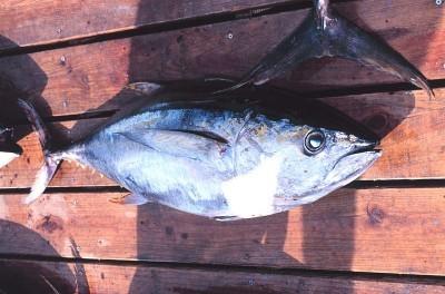 El Niño Likely to Bring Unfamiliar Fish to West Coast
