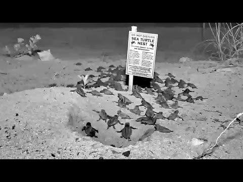 Fla. Keys webcam captures sea turtle hatch