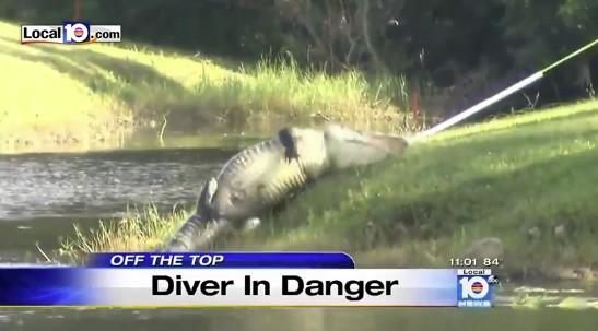 Alligator bites golf ball diver