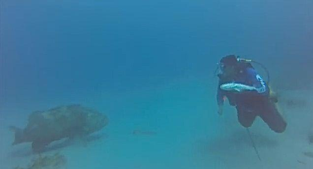 Goliath grouper attacks diver, steals his fish