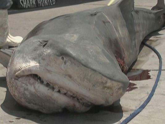 809-pound tiger shark fed to Texas poor, homeless
