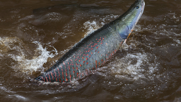 Study: Amazon's Biggest Fish Faces Threat Of Extinction