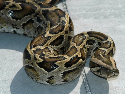 Florida Police Catch 12-foot, Cat-eating Python