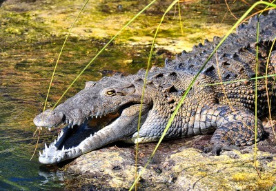 Why Do American Alligators Attack People, but American Crocodiles Don't?