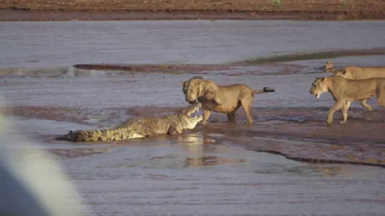 Crocodile faces off with 3 lions on African wildlife reserve (Video)