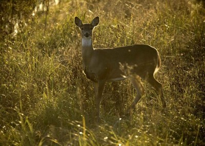 Louisiana Hunters Harvesting More Deer after Decade of Decline