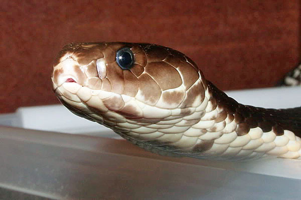 indochinese-spitting-cobra-snake-600