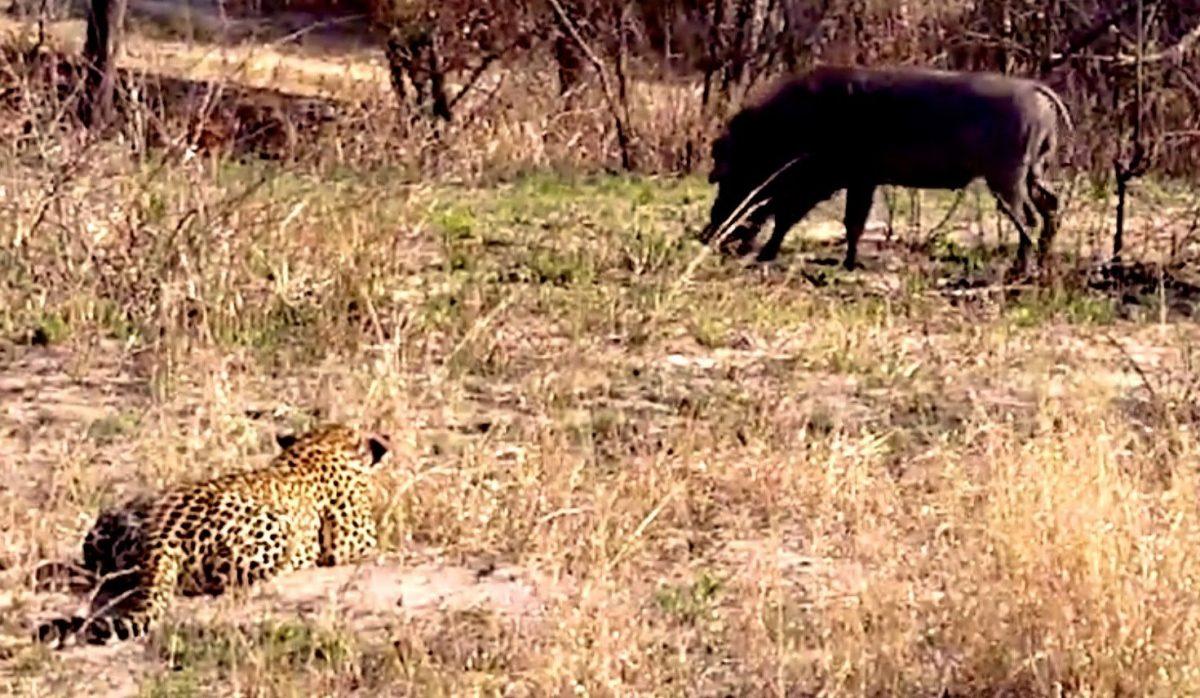 Leopard Forgets How to Ambush Warthog (VIDEO)