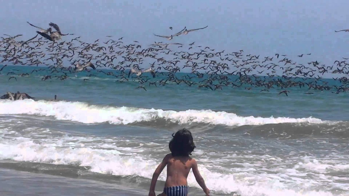 Massive Flock of Pelicans Dive-bomb for Fish (VIDEO)