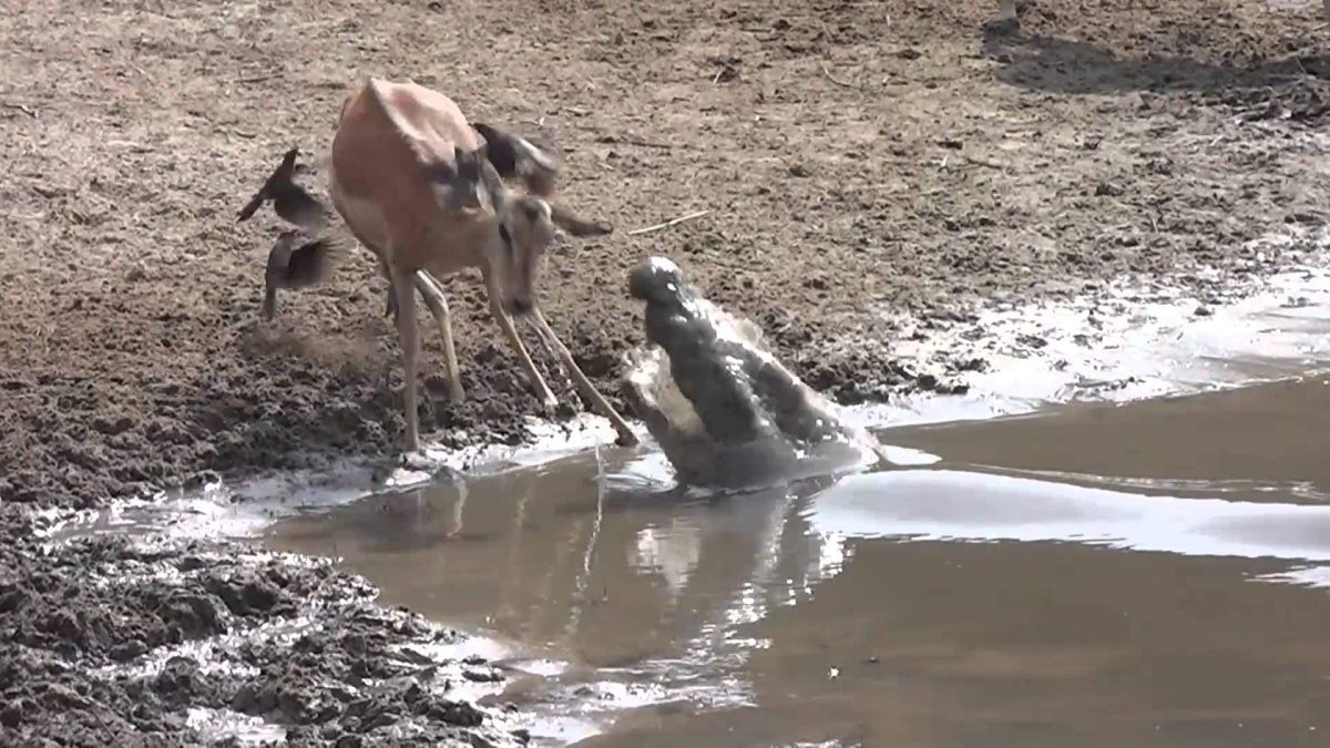 There Was a Little More in the Water Than One Impala Anticipated